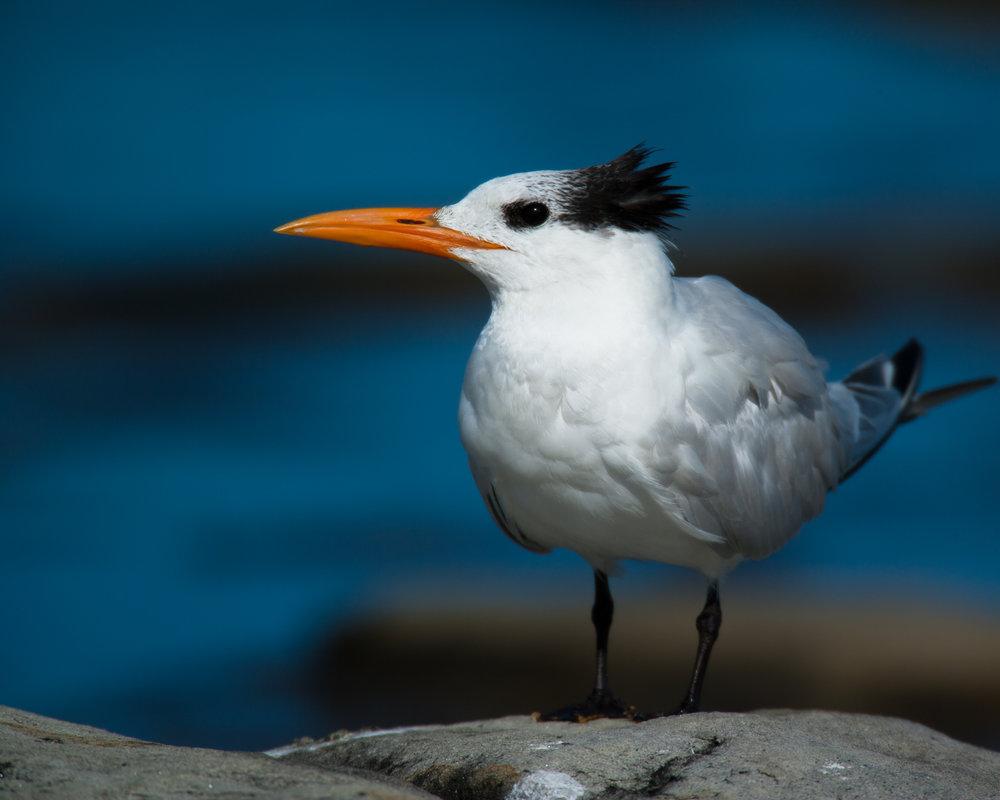 Royal Tern - Basic Plumage..基本羽衣的橙嘴凤头燕鸥