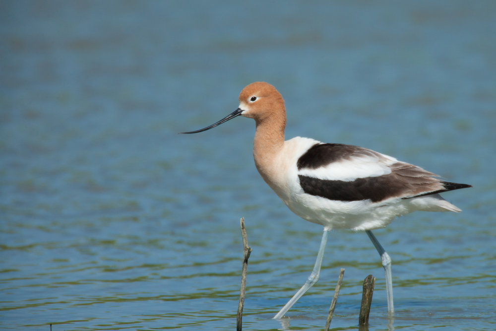 American Avocet - Alternate Plumage..繁殖羽的褐胸反嘴鹬