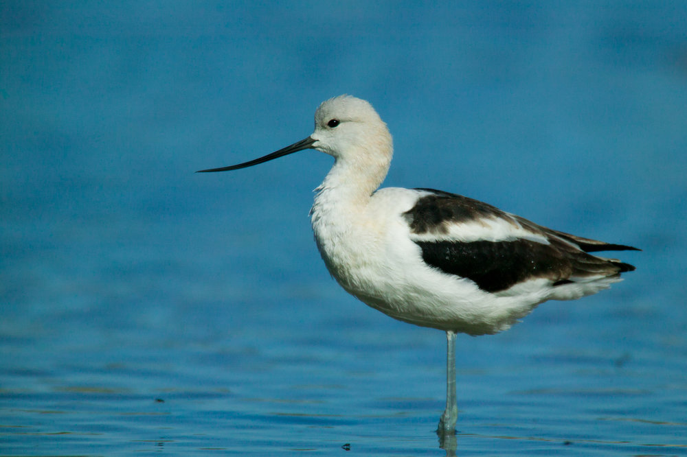 American Avocet - Basic Plumage..基羽的褐胸反嘴鹬