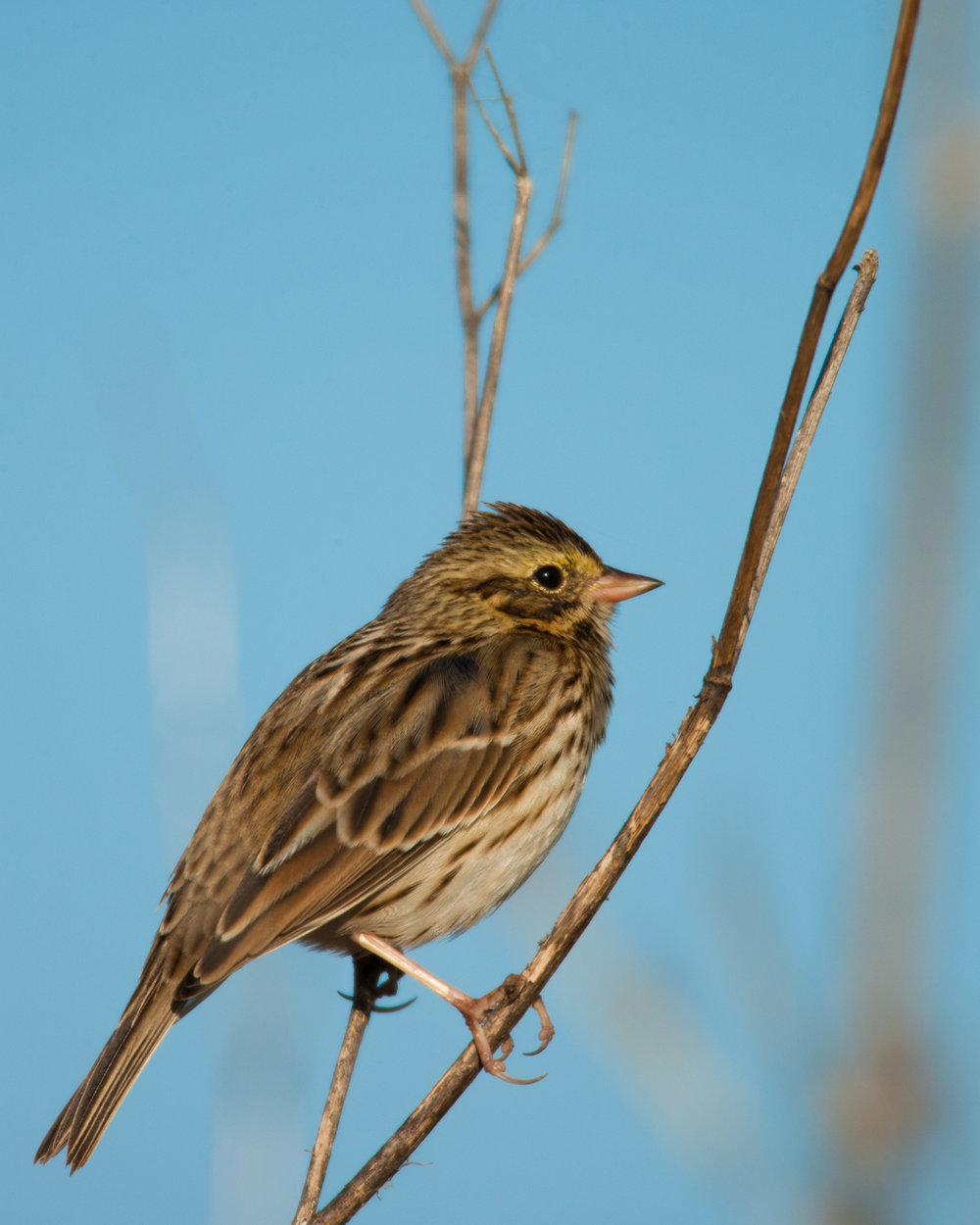 Savannah Sparrow..稀树草鹀
