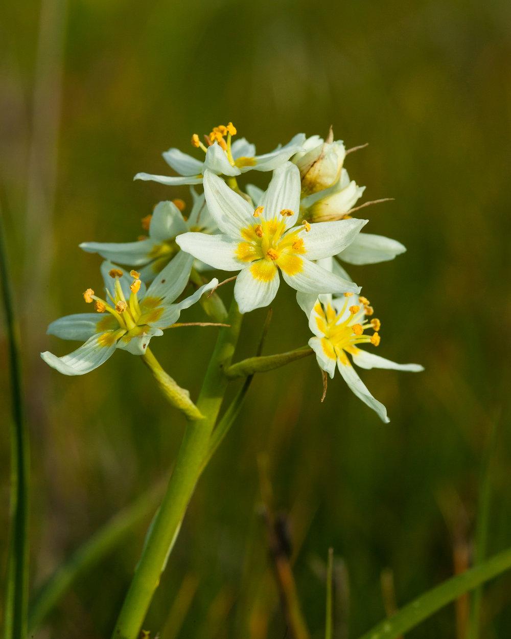 Fremont's Star Lily - Toxicoscordion fremontii