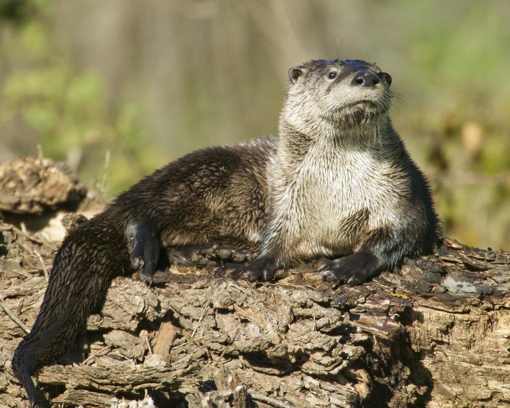 River Otter..水獭