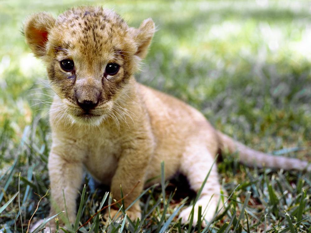 African Lion Cub..小非洲的狮
