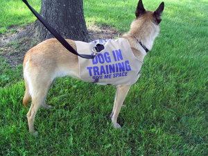 Dog In Training Vest Wizard Of Dogs
