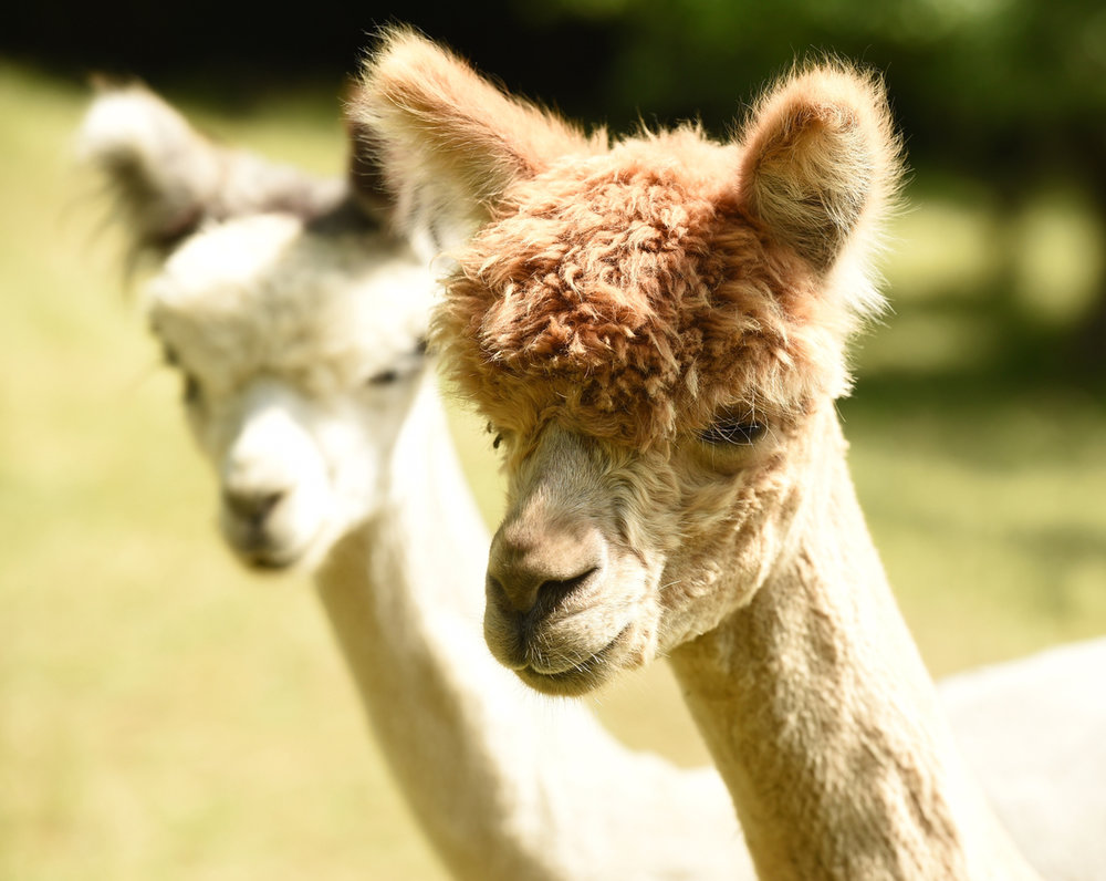 Green Gables Alpacas