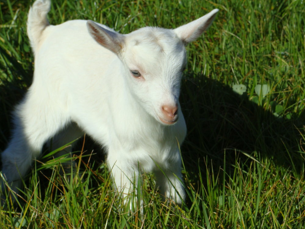 Baby Goat at the Farm