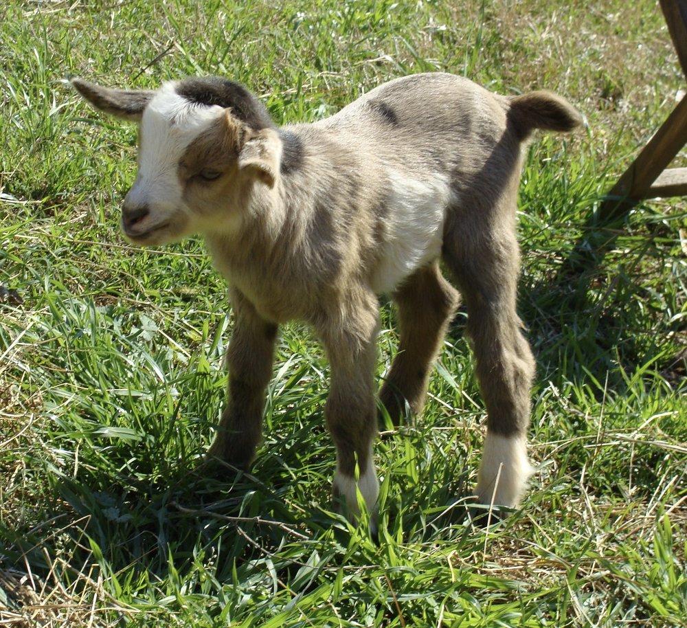 buckling-baby-goat