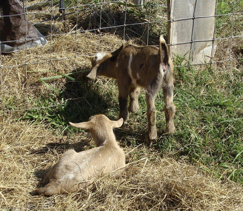 baby goats-farm-hay