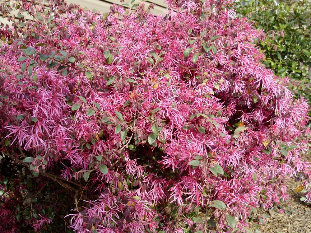 Chinese Fringe Flower  Loropetalum chinense