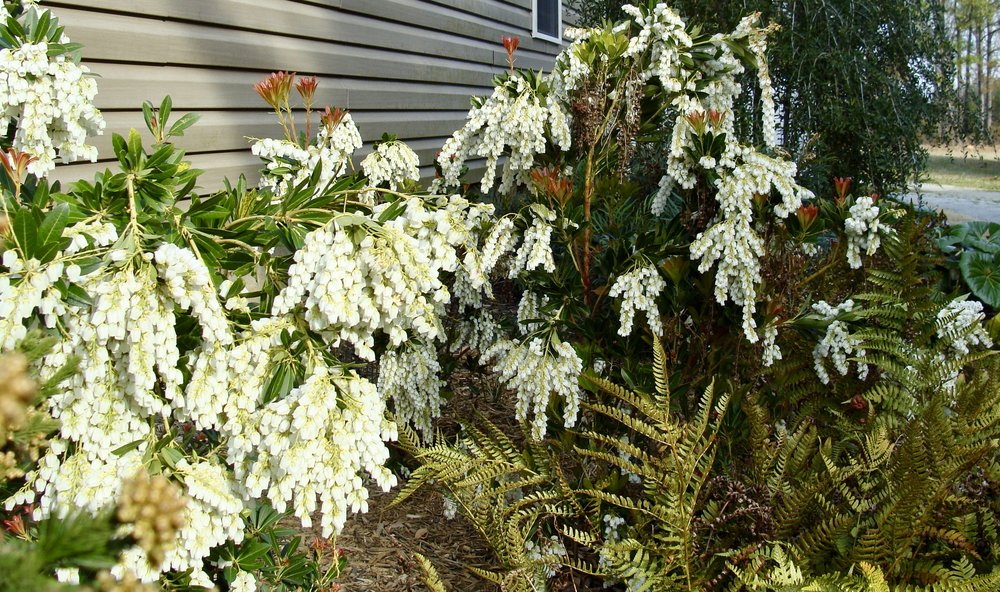 Temple Bells  Pieris japonica