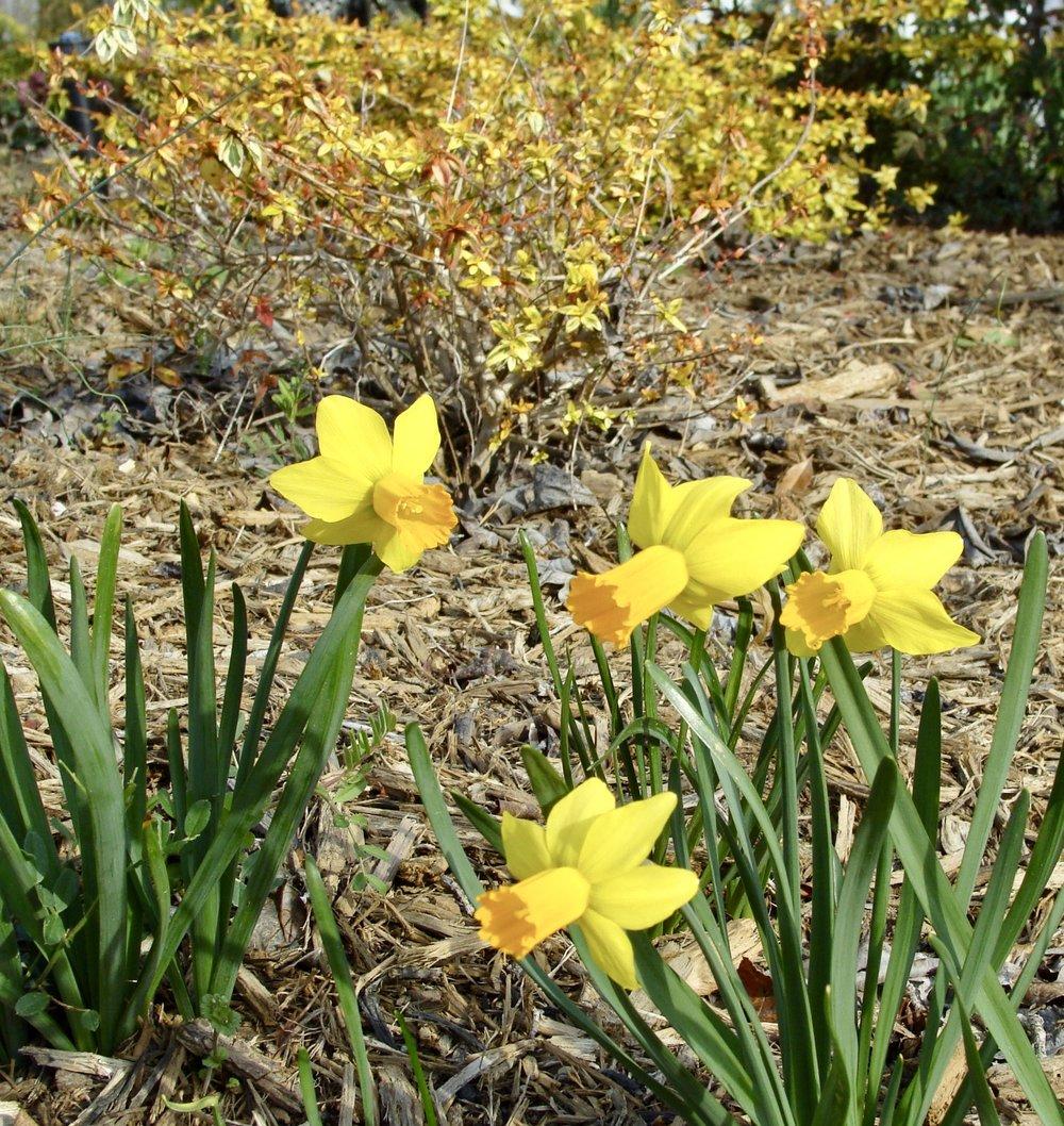 Narcissus  'Jetfire' and  Abelia x grandiflora  'Kaleidoscope'