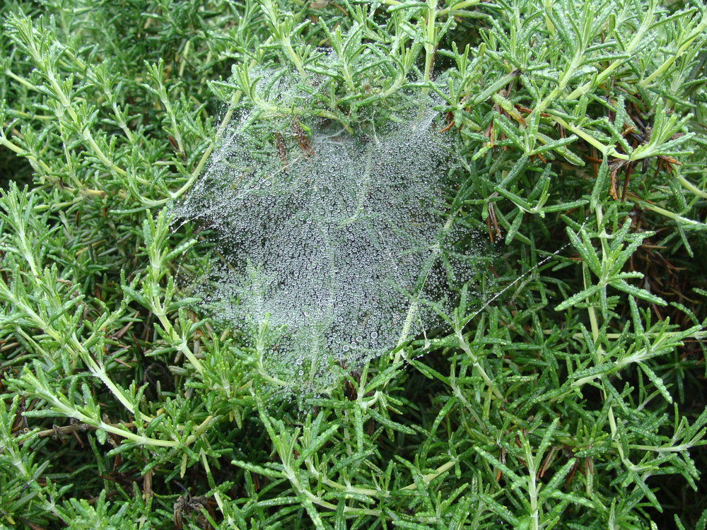 spider web on rosemary-Green Pastures Farm