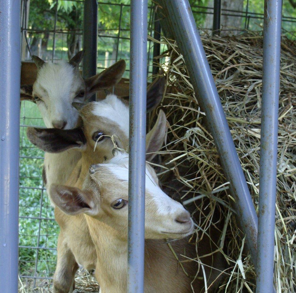 Jill's 3 baby goats