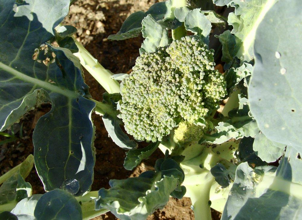 broccoli Green Pastures Farm