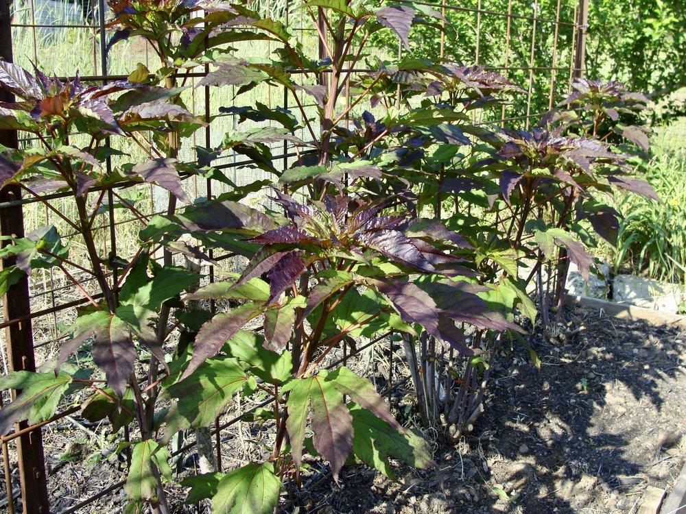 hibiscus in the dye garden-Green Pastures Farm