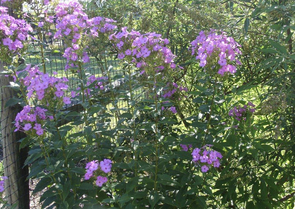 Tall Garden Phlox -  Phlox paniculata