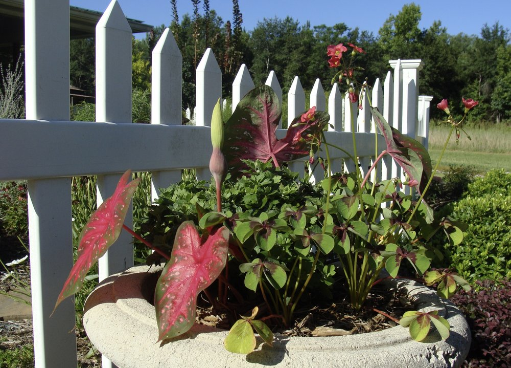 Container Garden of Summer perennial bulbs - Caladium & Oxalis