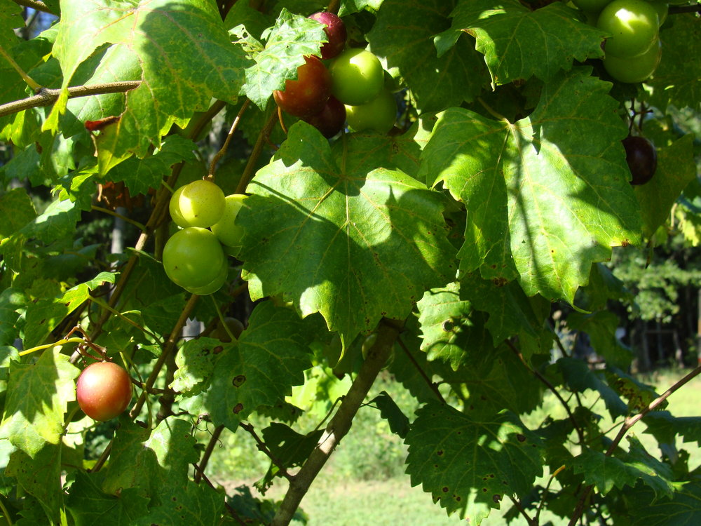 Muscadines ripening for Fall harvest & wine making!