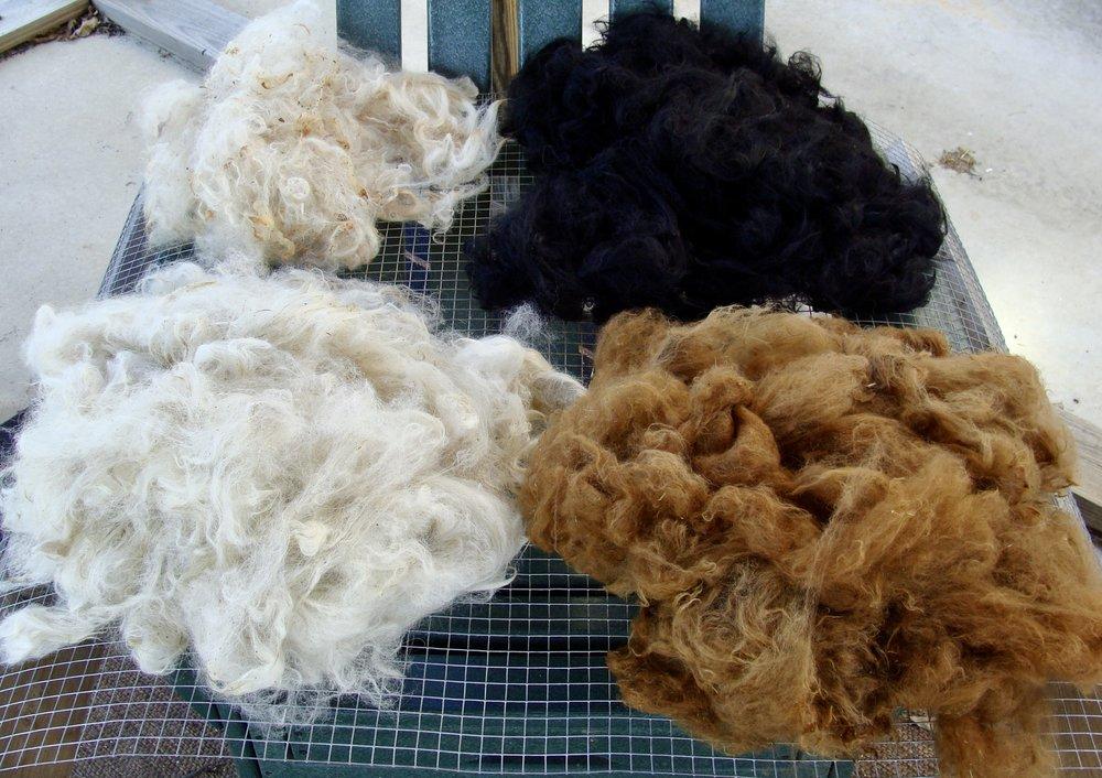 washed alpaca fleeces drying