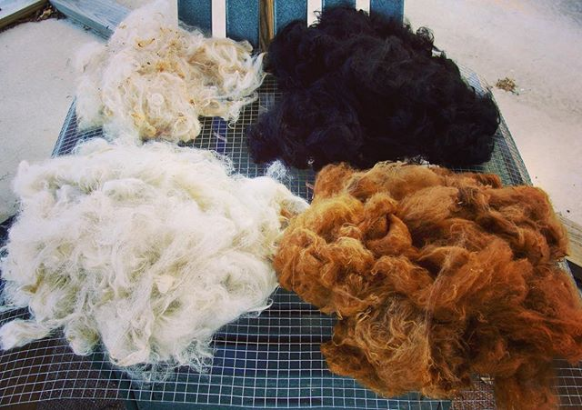 Washed alpaca fleece just waiting to be combed....and it was free!!!!