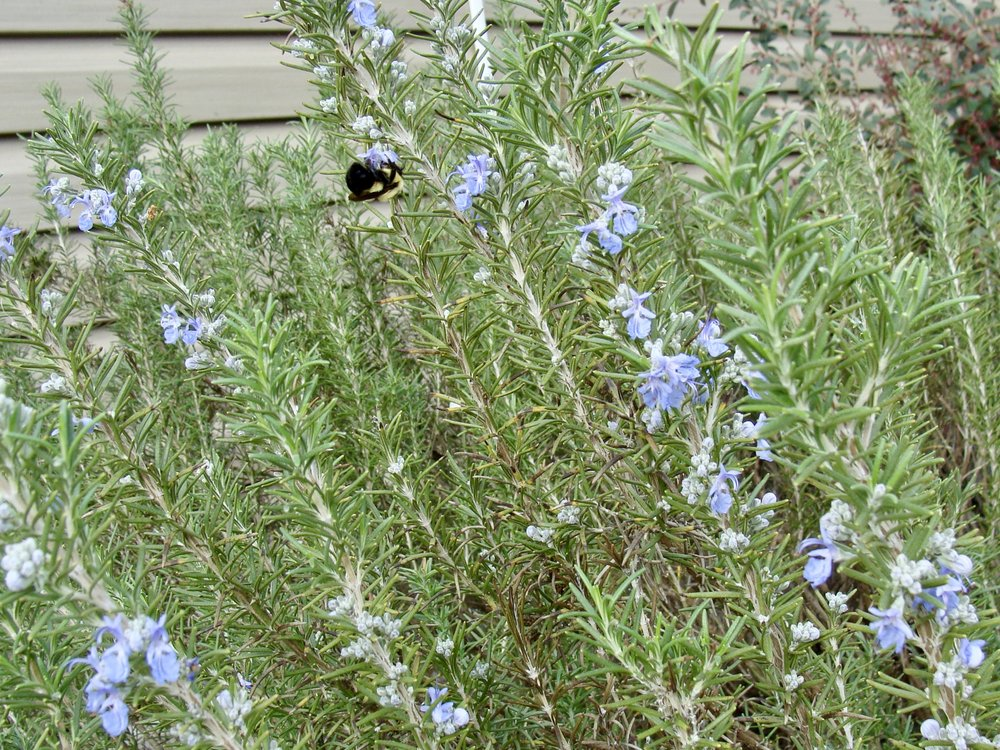 bee on rosemary @ green pasture farm