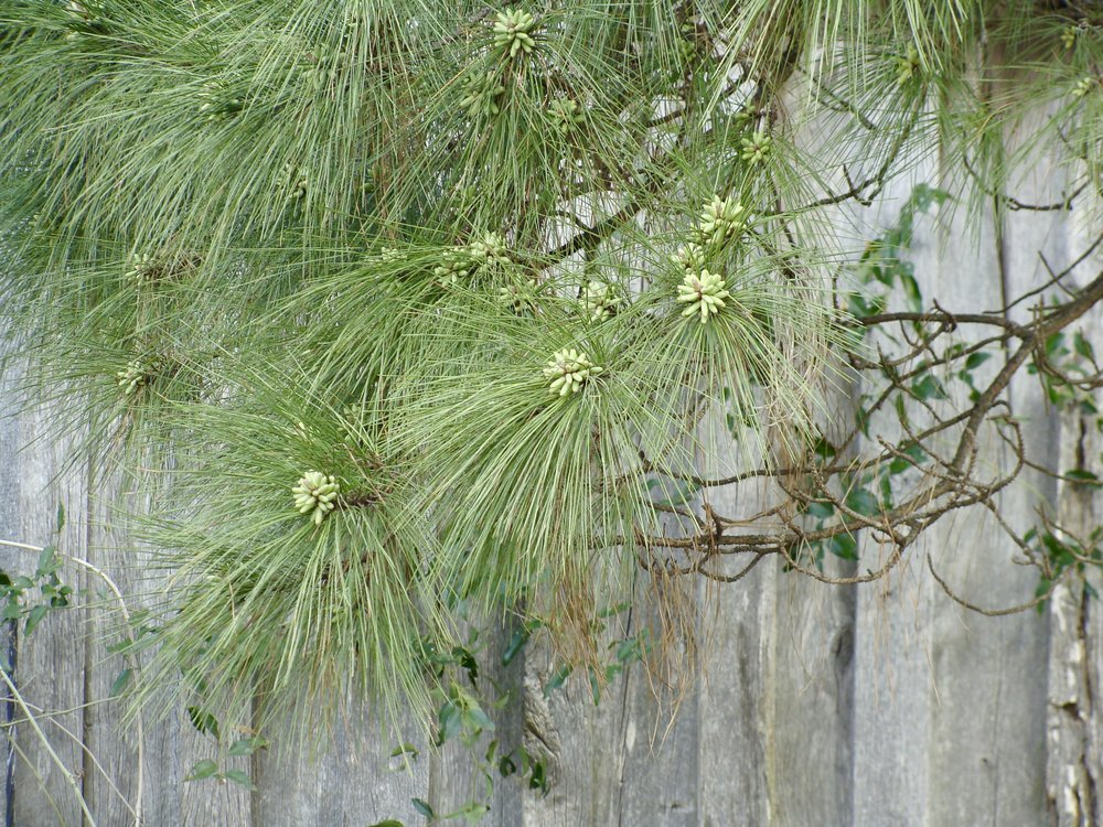 pine blossoms @ green pastures farm