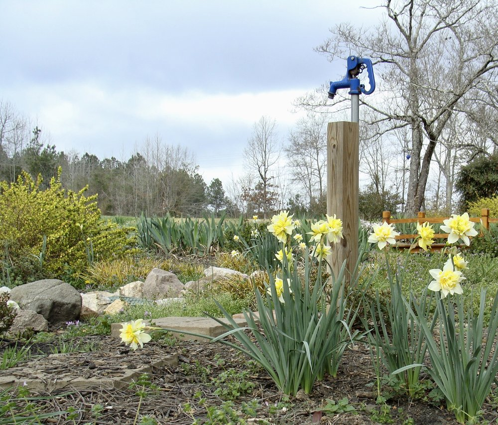 native daffodils @ green pastures farm