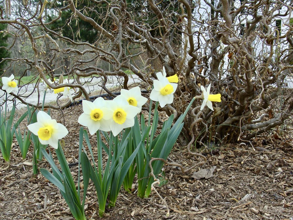 daffodils with Henry Lauder's Walking Stick
