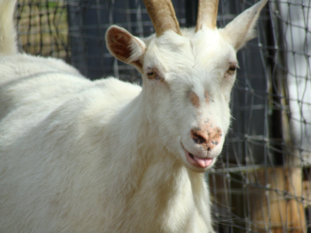 lily goat @ green pastures farm