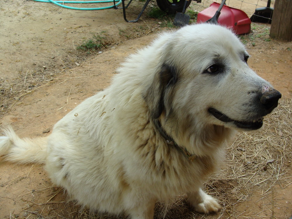 Big Girl - Great Pyrenees @ Carolina Pride Pastures
