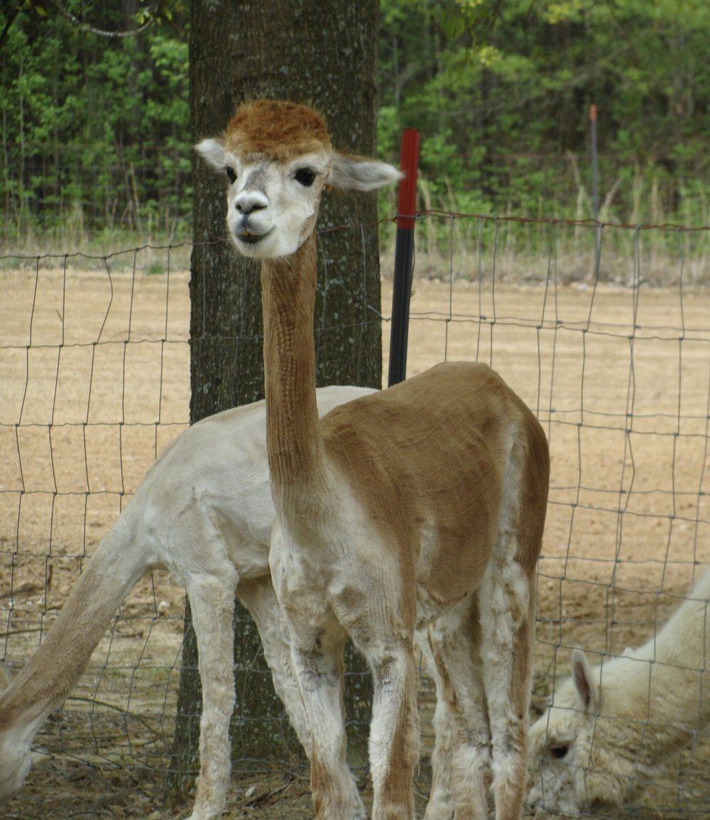 shorn alpaca at Carolina Pride Pastures