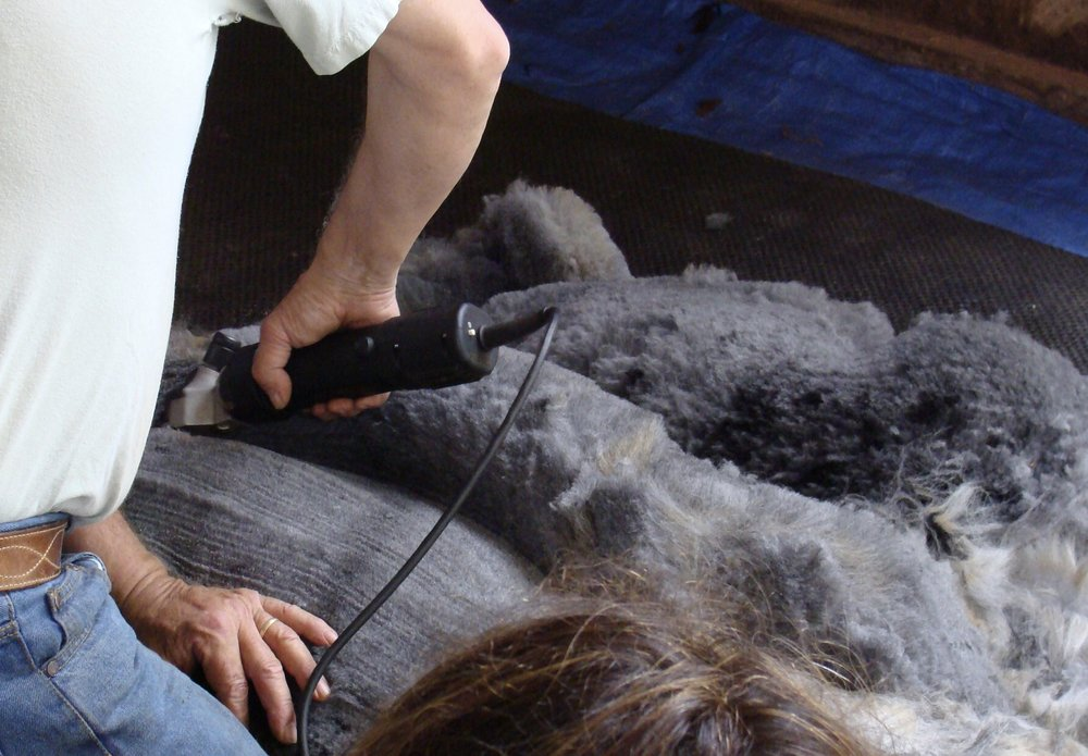 shearing the other side of the alpaca