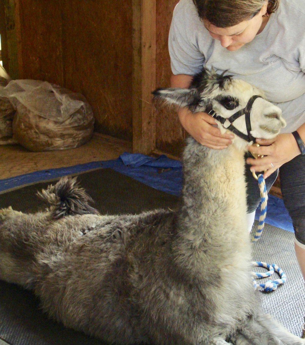 alpaca being prepared to be sheared