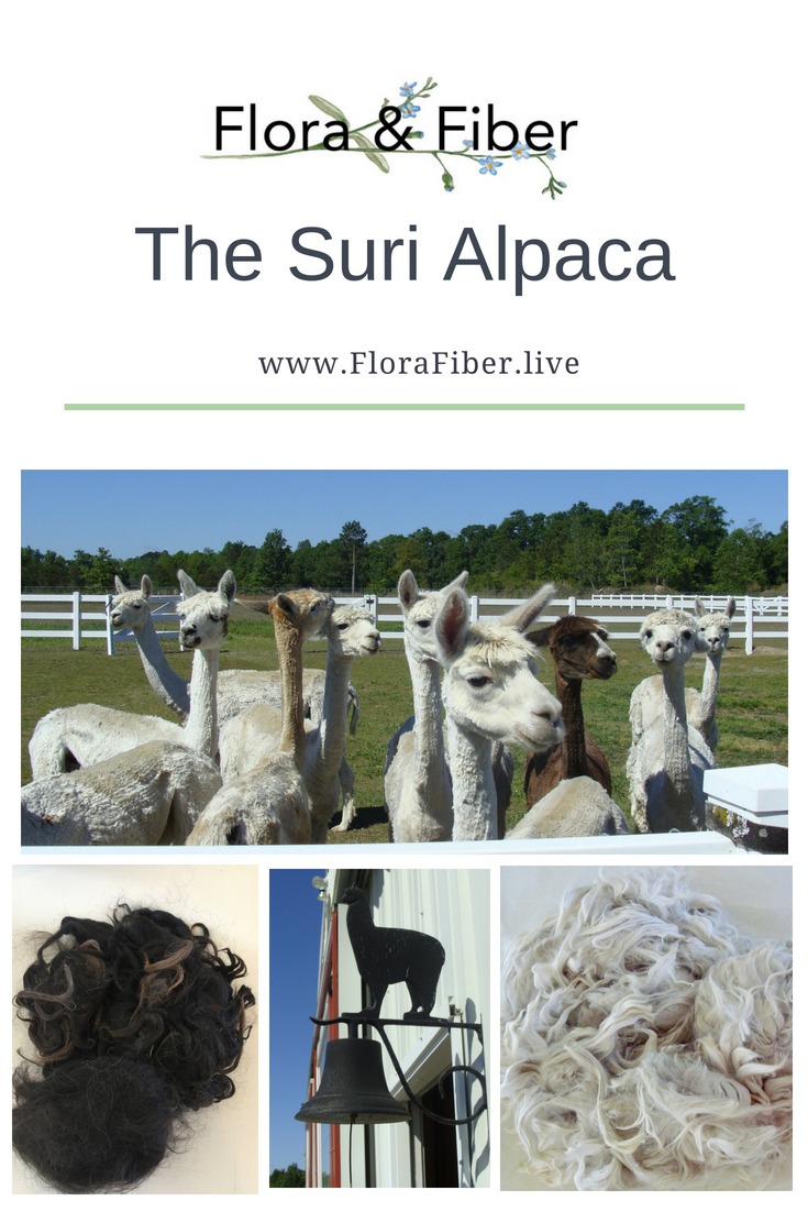 The Suri Alpaca post