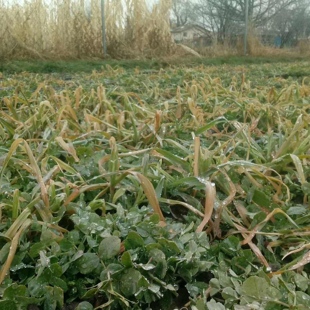Cover crop of oats & winter pea after a frost.