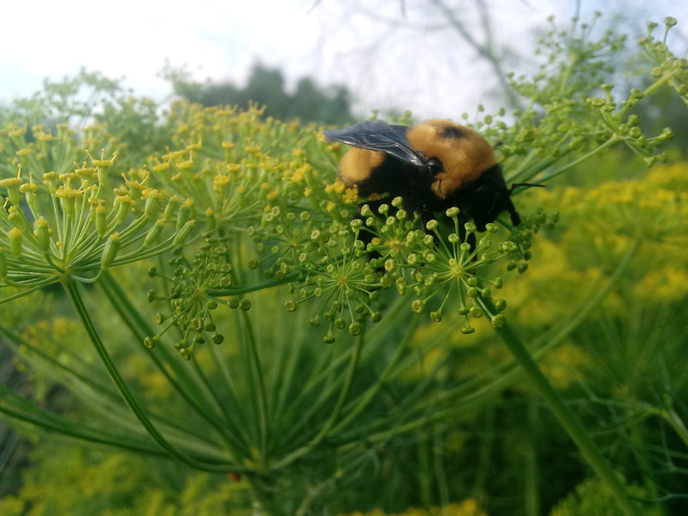 Bumble bee snoozing on a dill flower.