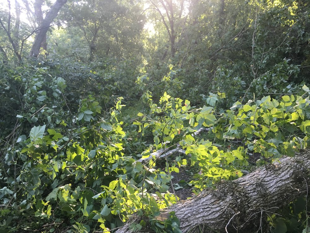 Section of downed trees along the C&O Canal.