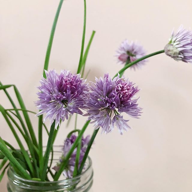 Pretty little chive flowers from mum's garden. • #hombeing #flowers #green #inthegarden #gather #grow #homegrown #iphonex #love