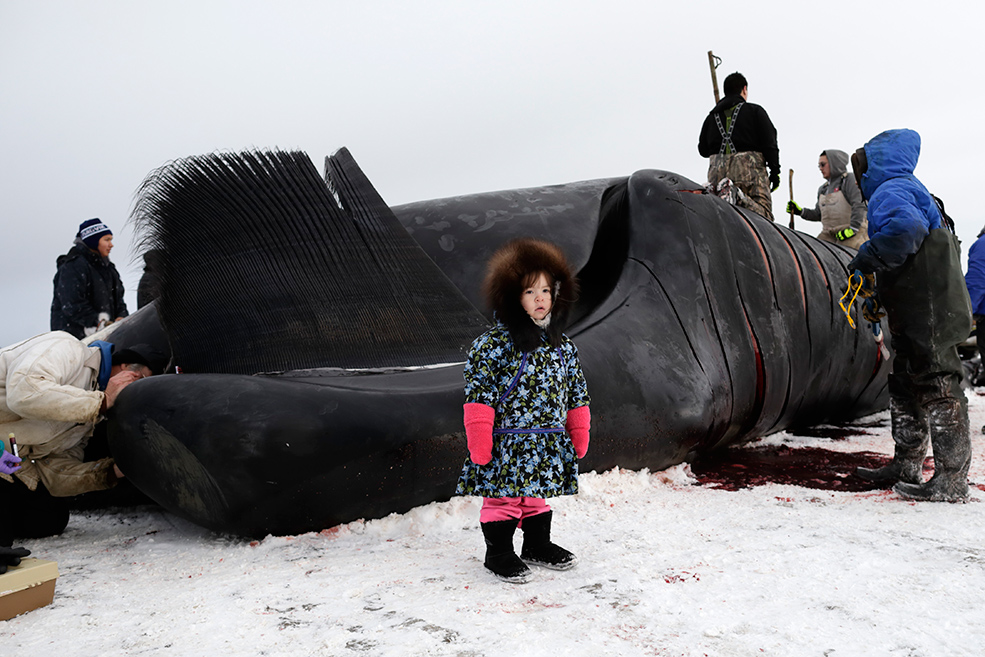 Children of Utqiagvik too small to help are still brought down to the whale, while family members explain the process.  AP Photo/Gregory Bull, from http://theweek.com/captured/441203/alaskas-big-catch