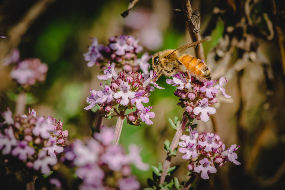 Honey Bee - Kawarau Gorge