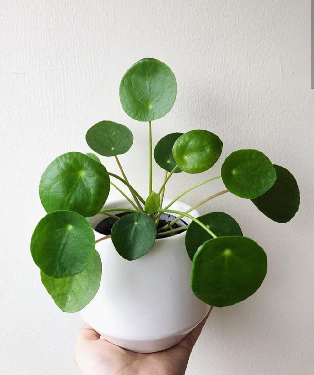 pilea - Pilea peperomiodes, commonly known as Chinese Money Plants and have been exceptionally hard to find in the PNW!
