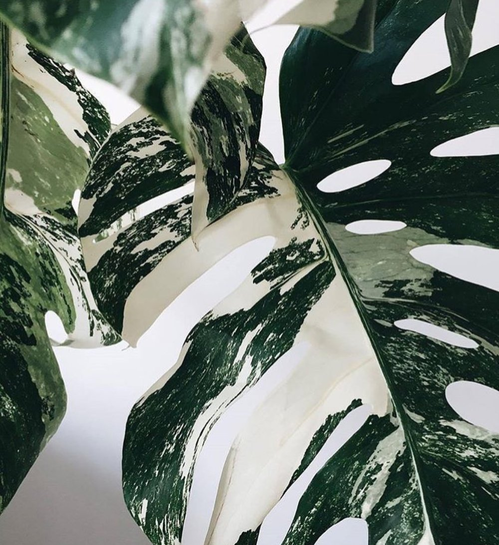 finally! - Variegated Monstera deliciosa, split leaf philodendron. The ever elusive, sought after variegated Monstera is finally in store!