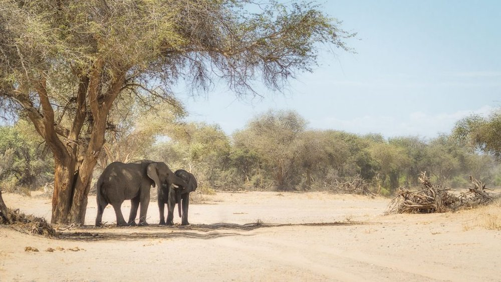 Desert Elephants of the Huab River, Namibia