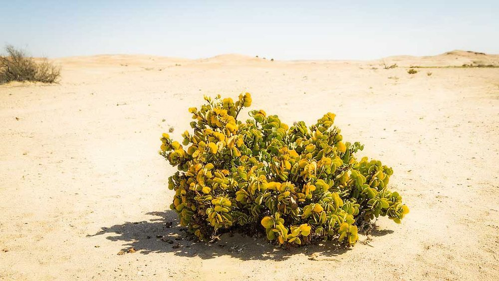 Nowhere to Hide – A succulent plant withstanding the Namib sun.