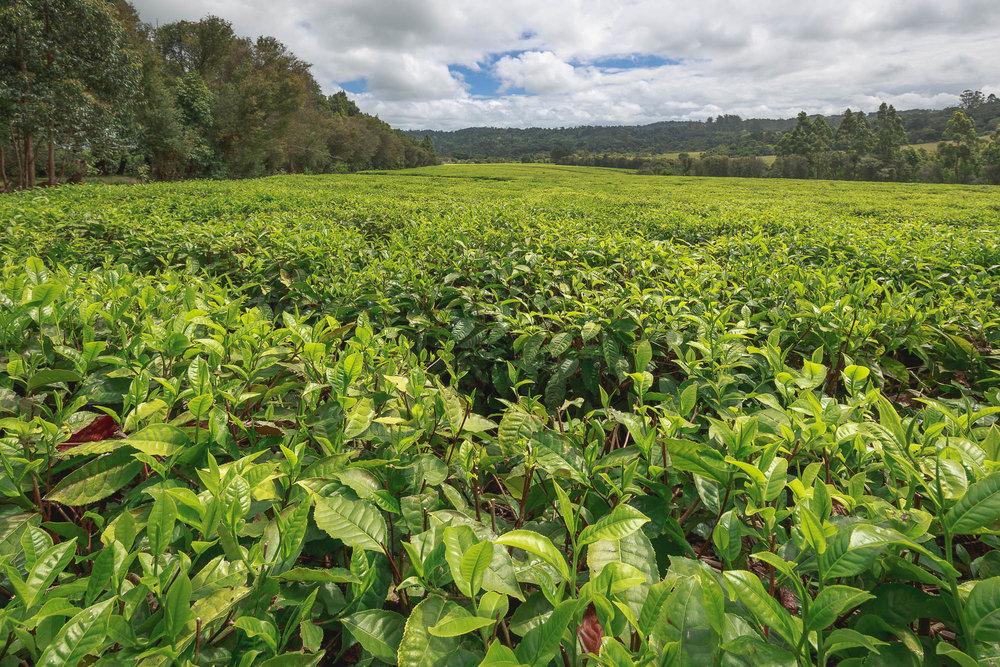One of the many Magwa tea plantations.