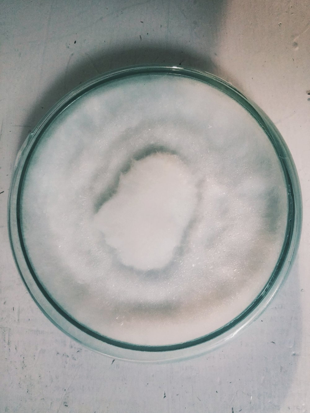 Mycelium growing radially on potato dextrose agar