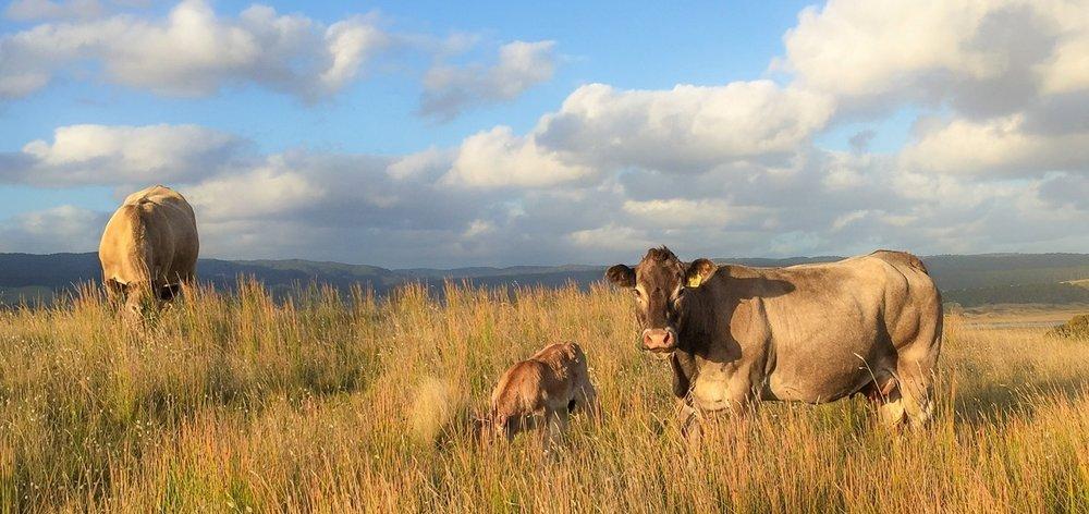 Newly born Bazadais calf with our Grand Dam Baleze 'Eclair.'