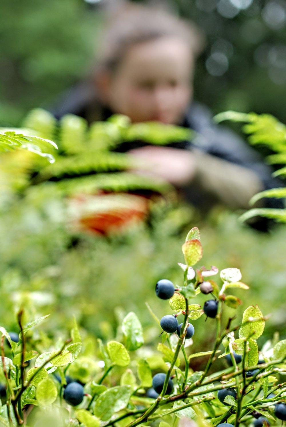 Masser af de søde blå bær foran huset.