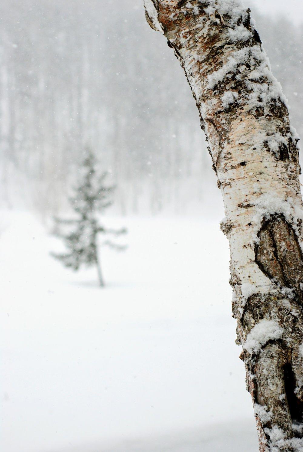 Birketræer - mange skifilm lavet i Japan er kendt for puddersne og birketræer