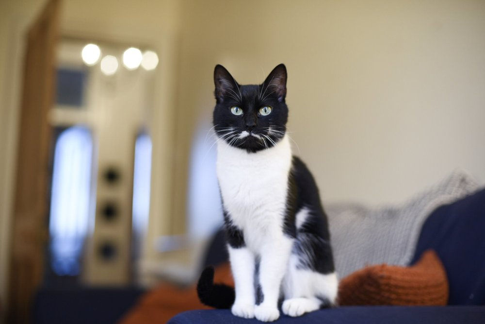 roxy-black-white-tuxedo-cat-glasgow-rescue-weeroxycat.jpg
